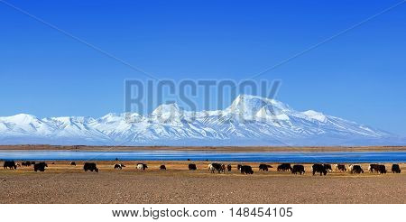 Gurla Mandhata Mount And Herd Of Yaks In Tibet, China