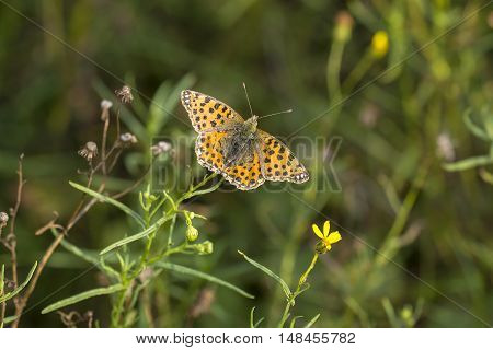 Queen of Spain Fritillary (Issoria lathonia) butterfly resting on Narrow-leaved Ragwort (Senecio inaequidens) with open Wings
