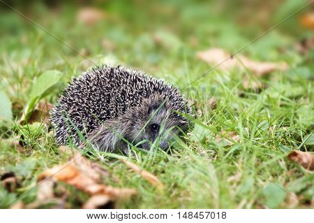 young hedgehog (Erinaceus europaeus) curled up in the lawn in autumn selected focus narrow depth of field