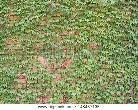 Ivy Hedera helix On A Pale Brick Wall