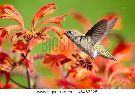Female Annas Hummingbird feeding on Crocosmia Flowers, British Columbia, Canada