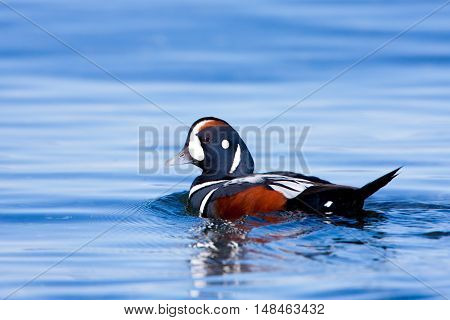 Male Harlequin Duck (histrionicus histrionicus) swimming in the ocean, Vancouver Island, Canada
