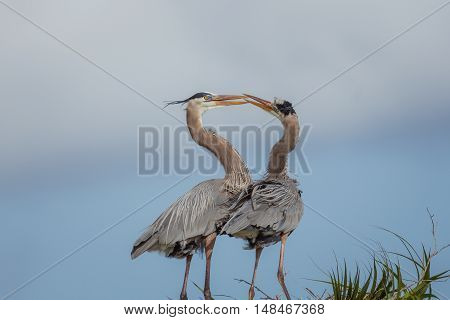 Two great blue herons kissing each other with blue sky background