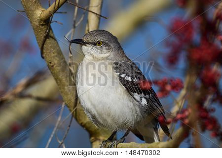 Mockingbird perched on tree branch with red berries in background