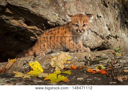 Female Cougar Kitten (Puma concolor) on Rock Ledge - captive animal