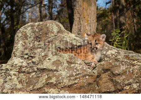 Female Cougar Kitten (Puma concolor) Atop Rocks - captive animal