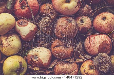 Retro Toned Close Up Picture Of Rotten Apples.