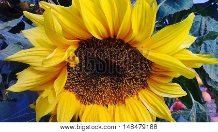 Bright sunflower at a farm in the Skagit Valley Washington.