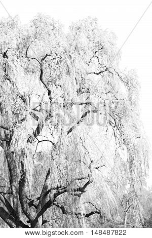Branches Of Willow Weeping