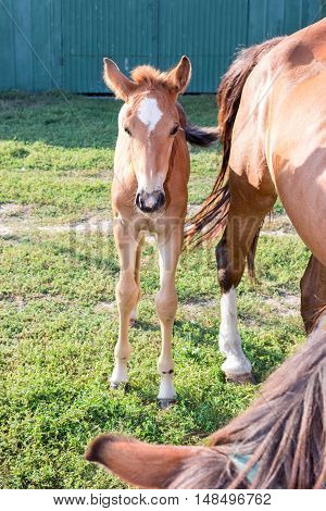 Little foal near horse mother on green grass at farm countryside