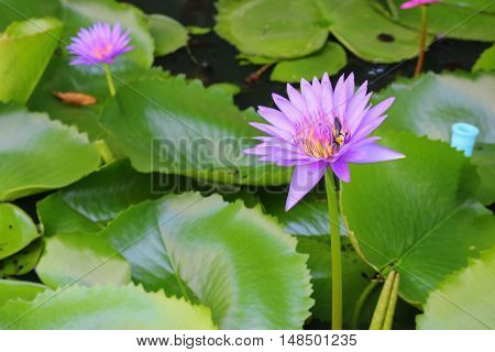 Lotus lilly purple on water selective focus and soft background with bee motion beautiful And copy space