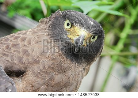 Close-up Falcon Peregrine and soft-focus blurred background
