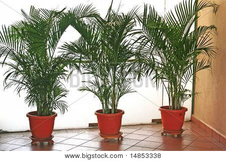 A row of office potted plants palm trees