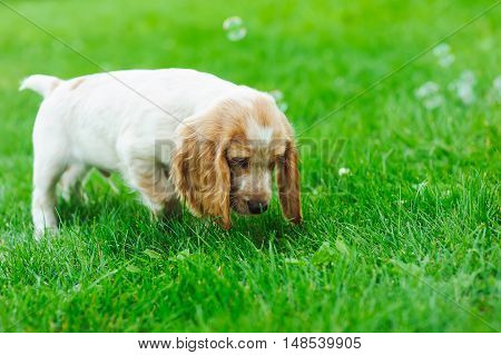 Puppy American Cocker Spaniel standing on a green lawn. Puppy playing with soap bubbles.