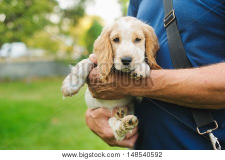 Puppy American Cocker Spaniel on hands at the man