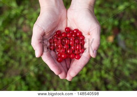 Female hands holding a hollow of viburnum red berries. Shot from above against the green grass.