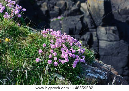Beautiful pink flowers . Name Sea thrift (Armeria Maritima) Growing On The Rocks