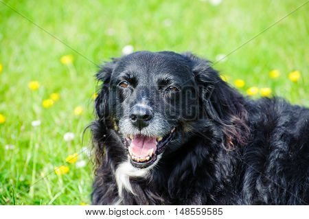 Happy dog lying on a green meadow
