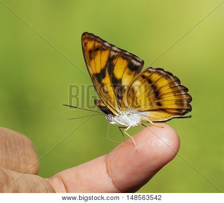 Colour segeant butterfly ( Athyma nefte ) sucking fod from human finger