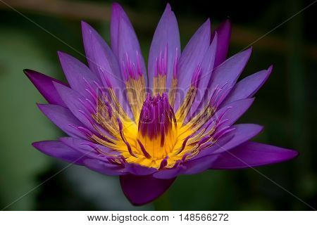 Beautiful purple lotus flower blooming in the garden