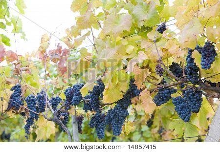 grapevines in vineyard Jecmeniste Eko Hnizdo Czech Republic poster