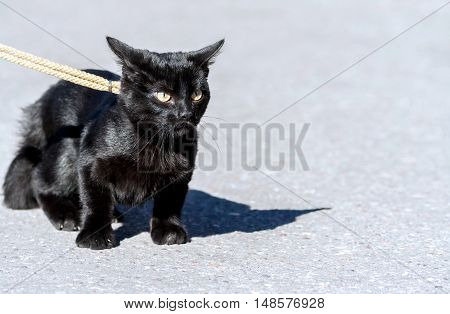 small black cat, five months, walking on the street on a yellow ropes course leash hunts and sneaks on asphalt, yellow eyes cold and thoughtful, sunny day, a shiny coat,