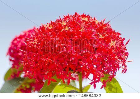 Beautiful Red Ixora flowers Indian Jasmine. scientific name Ixora chinensis Lamk