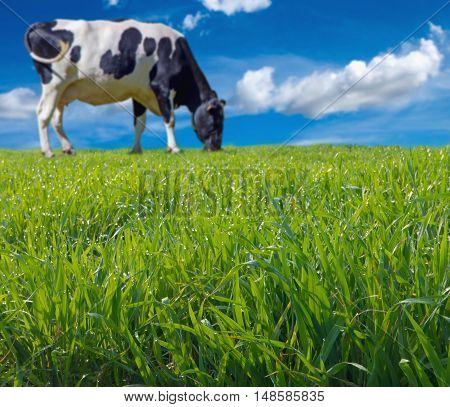 Blurred Cow Grazing Fresh Grass