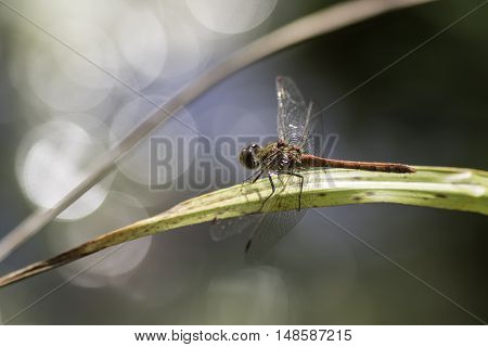 Male common darter dragonfly clinging to a reed at the end of summer. Aesthetic is enhanced by the soft light circles as the sun reflects off underlying water.