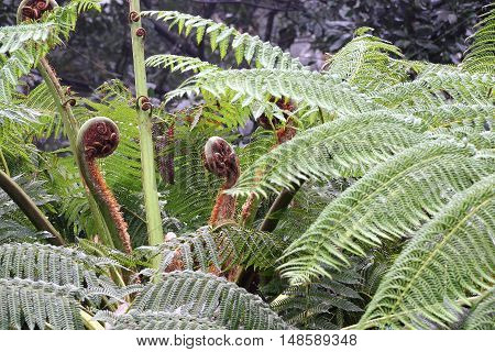 Leaf sprouts of Australian tree fern Cyathea cooperi - selected focus narrow depth of field