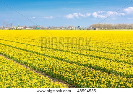 Field with rows of yellow daffodil flowers blooming in spring, church, blue sky in Holland town Lisse, Netherlands
