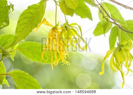 Ylang-Ylang flower on tree for the manufacture of essential oil