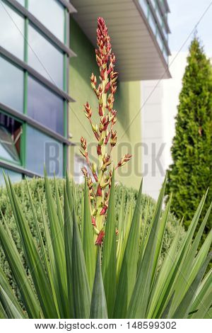 Tropical plant yucca in urban parks and gardens