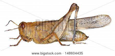 Blue-winged Grasshopper on white Background  -  Oedipoda caerulescens    (Linnaeus, 1758)