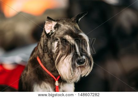 Miniature Schnauzer Dog Zwergschnauzer Close Up. Dwarf Schnauzer. Adult black-and-silver with natural ears, the long eyebrows and beard.