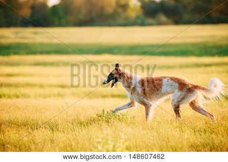 Wet Russian Dog, Borzoi Running In Summer Sunset Sunrise Meadow Or Field