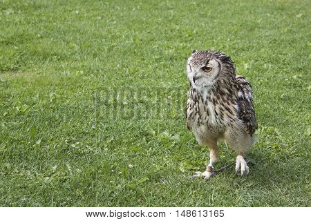 Eurasian eagle-owl (bubo, bubo) Zoo Jihlava, cz