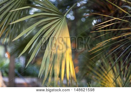 A group of palm leaves with varying shades of green and sunrise hitting the leaves.