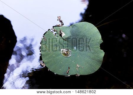 A large Lily flower pad in a Japanese pond.