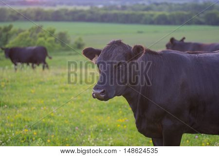 Cow in a grassy green field with other cows in the background, meat cow with curious look.