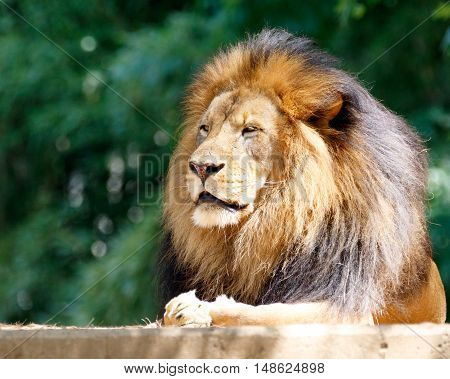 Seated male lion, King of the Jungle