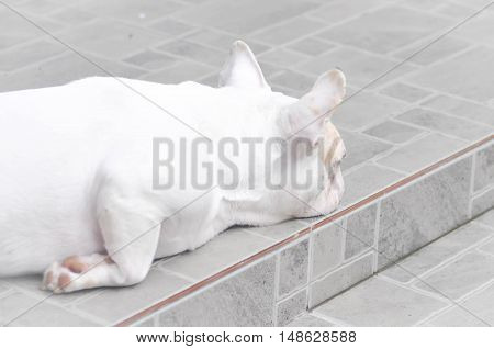 sleepy French bulldog or French bulldog on the floor