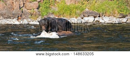 Grizzly Bear Boar tearing with his teeth into a dead Buffalo carcass in the Lehardy Rapids of the Yellowstone River in the Hayden Valley of Yellowstone National Park in Wyoming USA