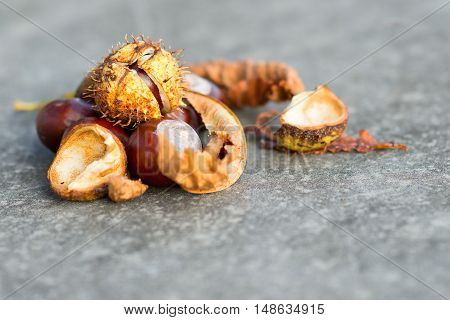 Horse chestnut chestnuts curl and leaf isolated