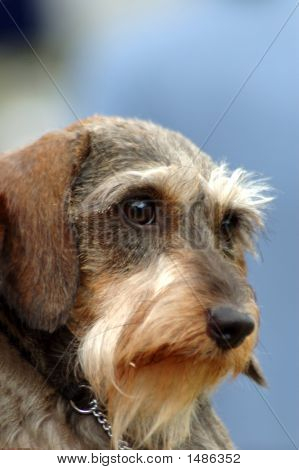 A beautiful Miniature wire haired Dachshund hound dog head portrait with cute expression in the face watching other dogs poster