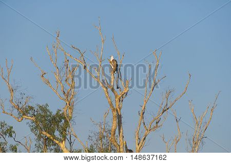 White-bellied Sea-Eagle bird(Haliaeetus leucogaster) sitting in a tree Yellow Waters billabong Kakadu National Park Northern Territory Australia