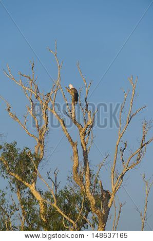 White-bellied Sea-Eagle bird(Haliaeetus leucogaster) sitting in a tree, Yellow Waters, billabong, Kakadu National Park, Northern Territory, Australia