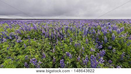 Great field of purple flower lupine near Vik in Iceland.