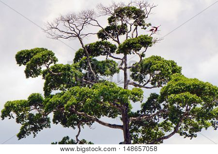 Crown of a dominant tropical tree with the scarlet macaws (Ara macao).