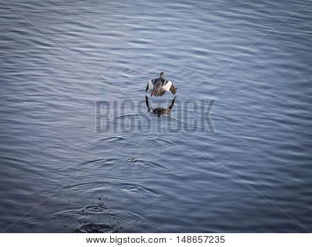 A Eurasian Widgeon Taking Off over water.